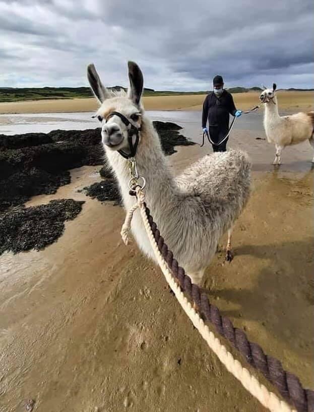Alpaca walking at Erne Estuary